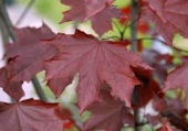 th_307_0_acer-platanoides-royal-red-h-m
