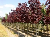 th_307_1_acer-platanoides-royal-red-h-m