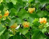 th_96_0_liriodendron-tulipifera-arbore-lalea-m