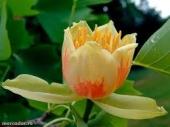 th_96_2_liriodendron-tulipifera-arbore-lalea-m